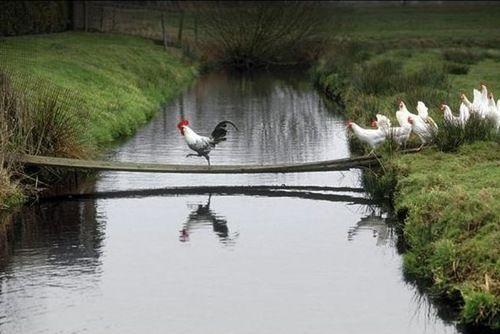 gallo sobre puente con gallinas temerosas